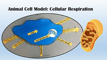 Cell Model for Cellular Respiration