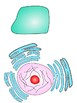 Cell Organelles: Interactive Word Wall