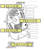 Cells #1 Animal Cell Coloring Sheet with Questions & Answer Key