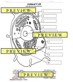 Cells 1 Animal Cell Coloring Sheet With Questions Answer Key