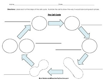 Cells: Cell Cycle Flow Chart