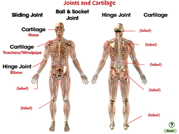 Cells,Skeletal & Muscular Systems: Joints and Cartilage - NOTEBOOK Gr. 3-8