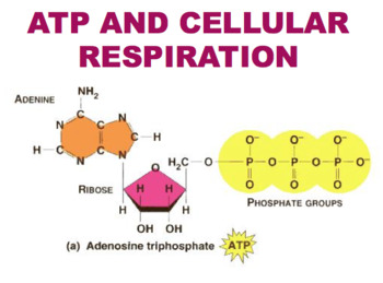 ATP & Cellular Respiration (Editable)