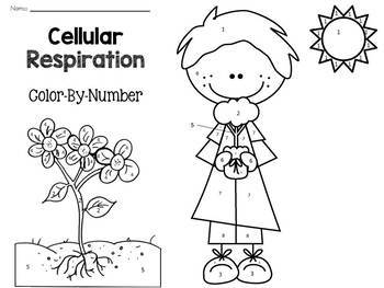 Cellular Respiration: Color-By-Number