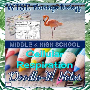 Cellular Respiration Doodle Notes