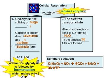 Cellular Respiration Dynamic Graphic Organizer