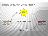 Cellular Respiration: Energy (ATP and Calories)