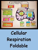 Cellular Respiration Foldable - Mitochondrion