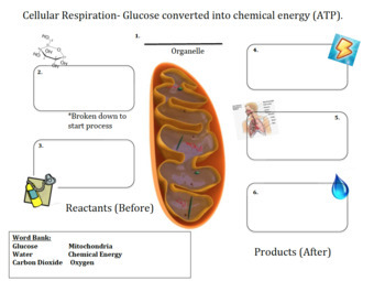 Cellular Respiration Graphic Organizer