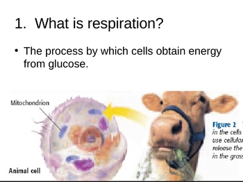 Cellular Respiration PowerPoint Presentation