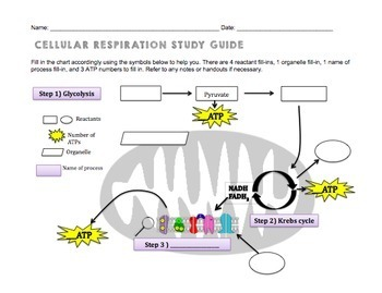 Cellular respiration study guide by biology roots tpt ccuart Images