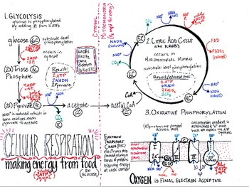cellular respiration summary sheet in color by we teach high school. Black Bedroom Furniture Sets. Home Design Ideas