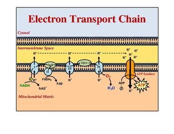 Cellular Respiration Teaching Diagrams