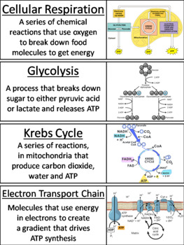 Cellular Respiration Word Wall Cards
