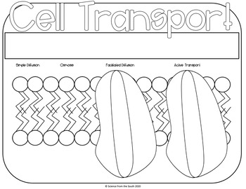 Cellular Transport Coloring Worksheet for Your Middle and High School Students