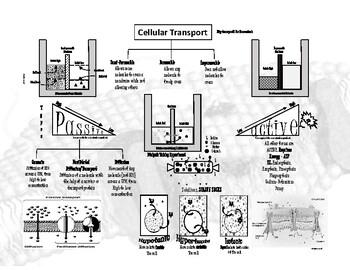 Cellular Transport & Homeostasis