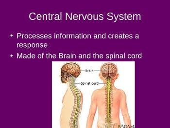 Ch. 31 Nervous System Slideshow