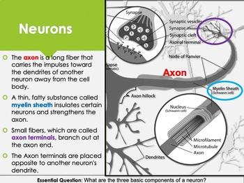 Ch 6.1 The Basics of the Nervous System - Body & Behavior Psychology McGraw Hill