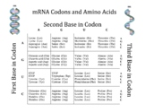 Chart of Amino Acids and Messenger RNA Codons