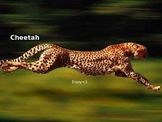 Cheetah Power Point - Information Facts Pictures