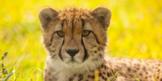 Cheetah Virtual Lesson