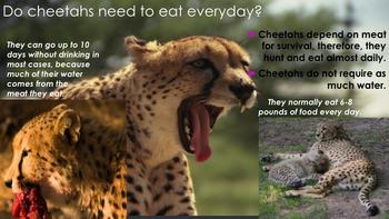 Cheetahs - Powerpoint