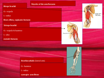 Chest, shoulder and upper limb anatomy.
