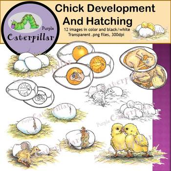 Chicken Life Cycle:  Chick Development and Hatching