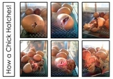 Chick Hatching Step By Step Photos