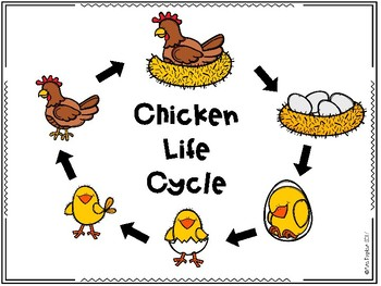 Chicken Life Cycle by Creating Sparks | Teachers Pay Teachers - photo#22