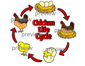 Chicken Life Cycle Clipart (color and black and white)