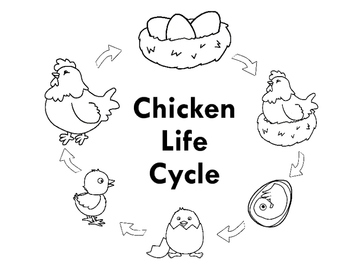 Chicken Life Cycle FREEBIE