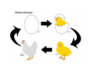 Chicken Life Cycle Flow Chart
