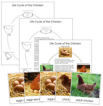Chicken Life Cycle Nomenclature Cards and Charts