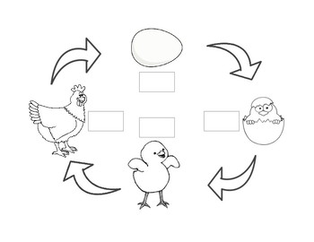 Chicken Life Cycle Printable (preview is not accurate)
