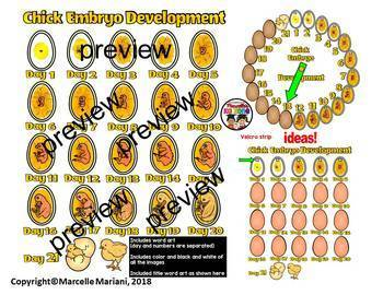 Chicken Life Cycle and Chick Embryo Development Clipart BUNDLE
