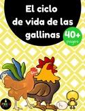 Chicken Life Cycle in Spanish (Las gallinas, gallos y pollitos)