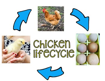 Chicken Life cycle  Hatching Eggs In the Classroom
