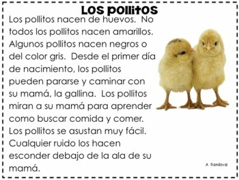 Chicken Life Cycle in Spanish