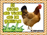 Chicken Life Cycle in Spanish El ciclo de vida de la gallina