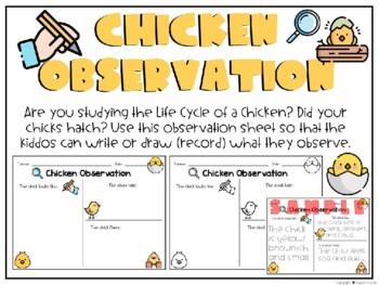 Chicken Observation