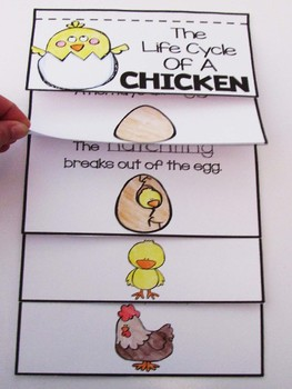 Chicken life cycle flip book