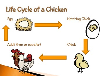 Chickens ~ An Interactive PowerPoint Presentation of Their Life Cycle