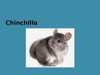 Chinchilla Power Point - Facts History Pictures - 10 slides