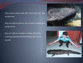 Chinese Giant Salamander - Power Point Facts Pictures Information