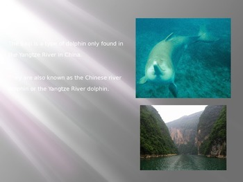 Chinese River Dolphin Baiji - Power Point - Info Facts Pictures endangered