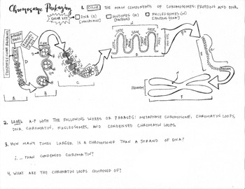 Chromosome Packaging coloring Sheet; AP BIOLOGY