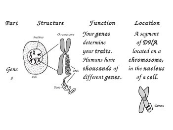 Chromosomes, DNA, and Genes