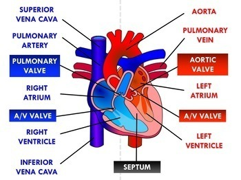 Circulatory System - Blood, Blood Vessels, Heart, Disorders (Advanced)