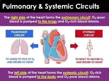 Circulatory System - Blood, Heart, and Blood Vessels